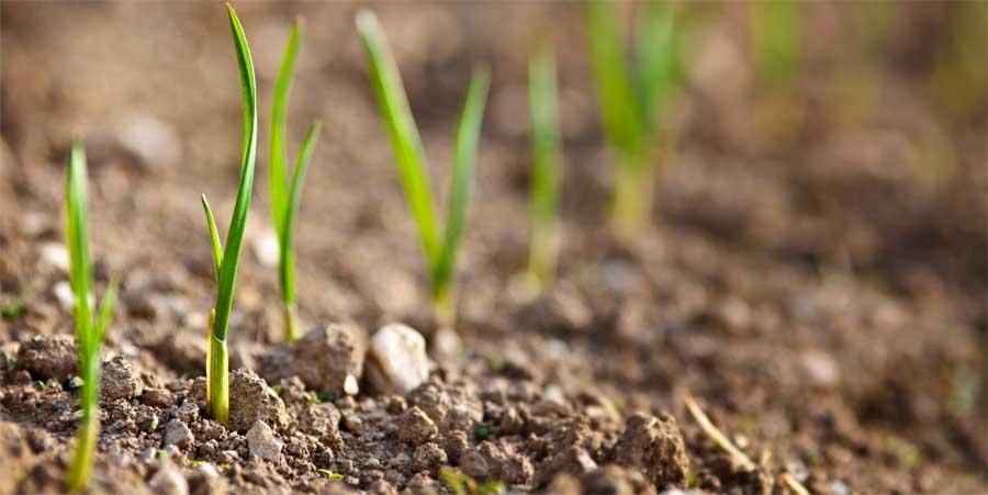 Cultivo de ervas aromáticas, condimentares e medicinais